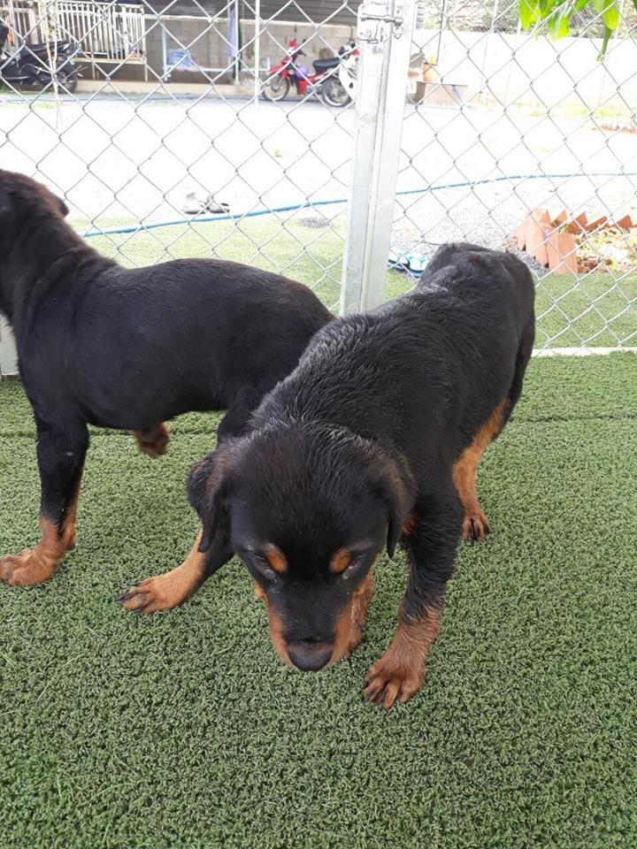 Trại chó Rottweiler Đồng Nai TP Biên Hòa