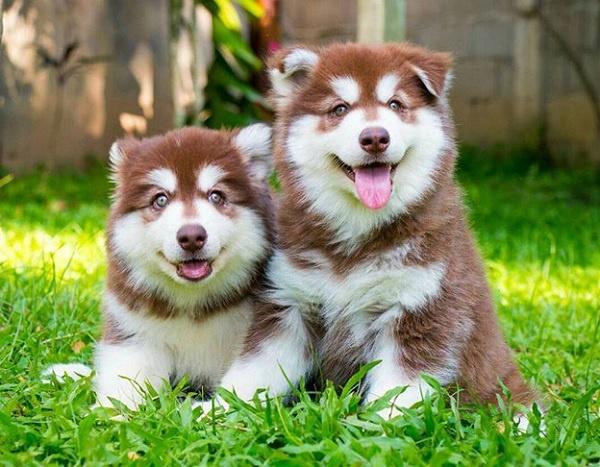 Chó Alaska tại trại huấn luyện chó Toàn Phát