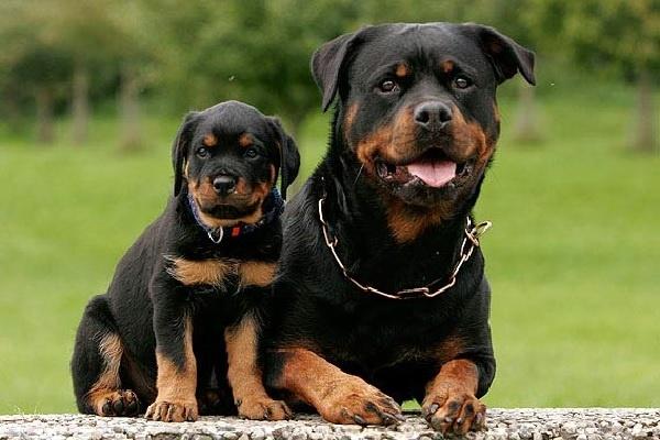 Giống chó Rottweiler tại Toàn Phát