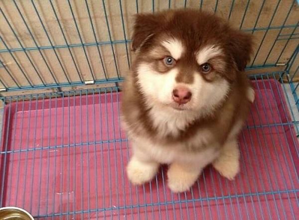 Hình ảnh chó cảnh mua tại Toàn Phát chuẩn bị được giao cho khách hàng tại Vũng Tàu