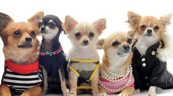 Một số loài chó cảnh đang được bán tại Toàn Phát