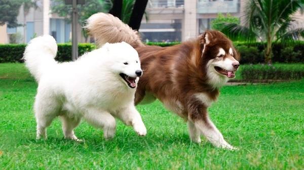 Mua chó alaska ở Đồng Nai tại trại chó Toàn Phát