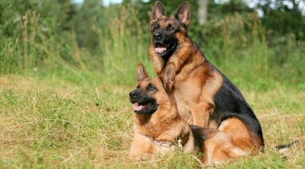 Toàn Phát - Cung cấp những chú chó Becgie trưởng thành
