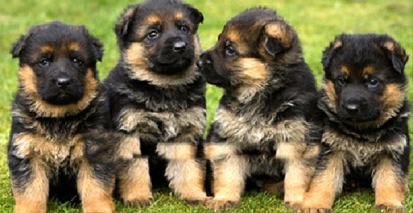 Toàn Phát - Địa chỉ bán chó Becgie con tại Bình Dương uy tín
