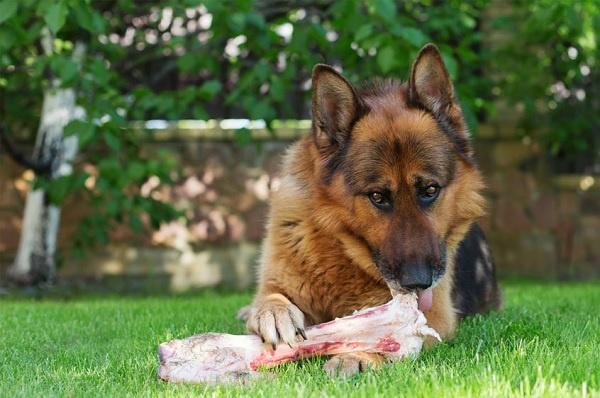 Chế độ chăm sóc cho chó trong quá trình huấn luyện