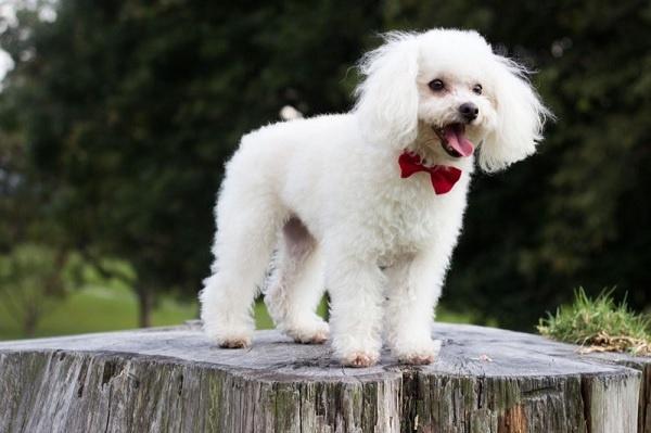 Chó poodle có ngoại hình xinh xắn với lớp lông xù xoăn tít