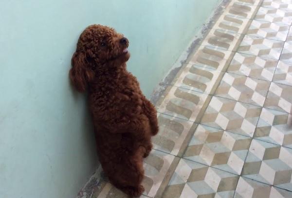 Hình ảnh chú chó Poodle sau khi huấn luyện đưng bằng 2 chân tại Toàn Phát