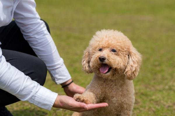 Huấn luyện chó Poodle bắt tay