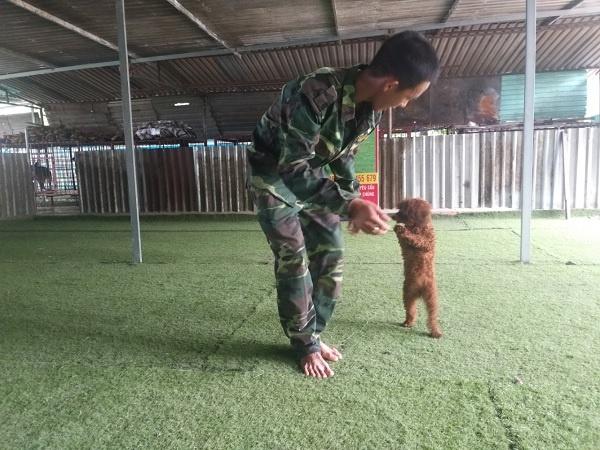 Huấn luyện cho Poodle đi bằng 2 chân