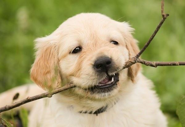 Huấn luyện chó Poodle tha đồ vật lại cho chủ