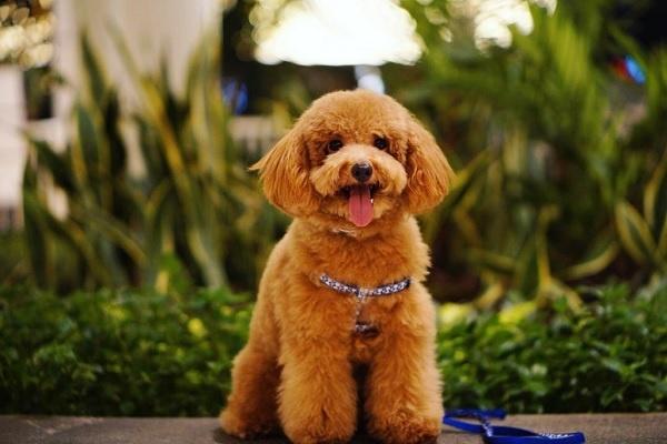 Nét đặc trưng của giống chó poodle
