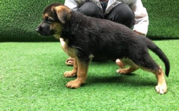 Các bài tuần huấn luyện chó tấn công nên được thực hiện từ khi thú cưng còn nhỏ