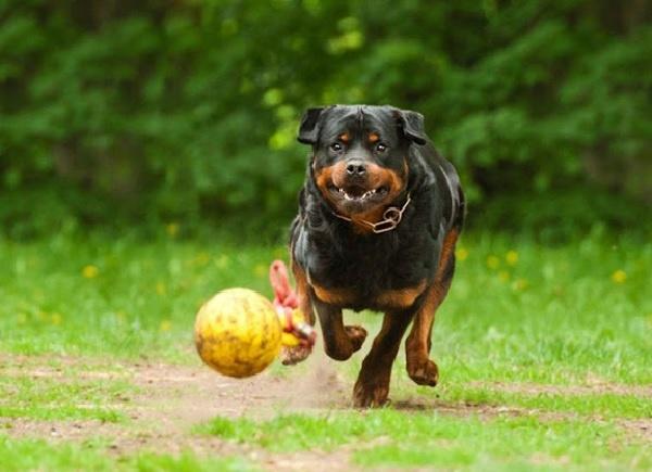 Huấn luyện chó rottweiler chạy bền
