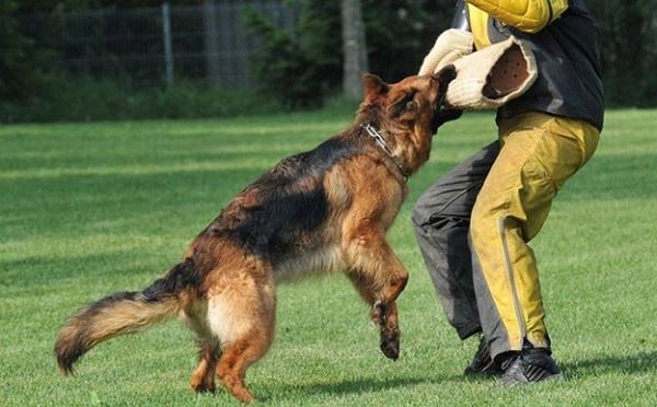 Người huấn luyện chó tấn công cần đảm bảo an toàn khi huấn luyện
