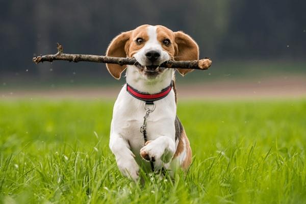 Tính cách nghịch ngợm của chó Beagle